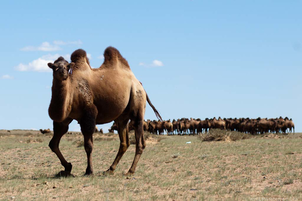 A herd of camels in Govi-Altai Province, Mongolia.