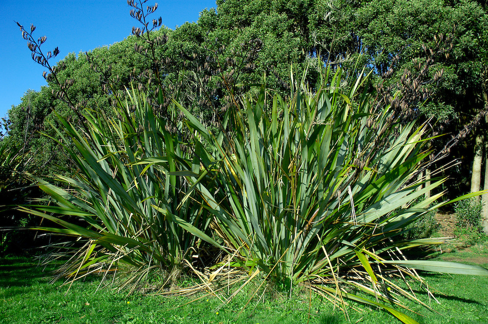 Native to New Zealand. Widely planted for its ornamental value.