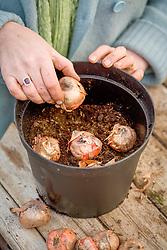 Planting Gladiolus 'Arabian Night' into 5 litre pot