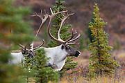 Barren ground cairbou bulls in autumn habitat
