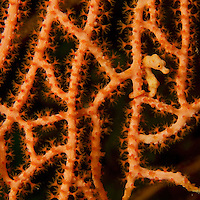 Denise's Pygmy seahorse (Hippocampus denise) camouflages itself in a sea fan.  Yellow color form.<br />Pisang Islands, W of Fak Fak Peninsula.