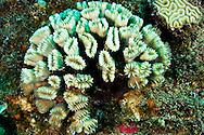 Smooth Flower Coral, Eusmilia fastigiata, Grand Cayman