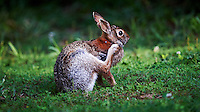 Rabbit Trying to Remove the Big Ticks on its Neck. Image taken with a Nikon D3s and 500 mm f/4 VR lens (ISO 900, 500 mm, f/4, 1/500 sec).