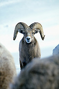 A  bighorn sheep ram (Ovis canadensis canadensis). Lostine Ridge, Wallowa Mountains, Oregon.