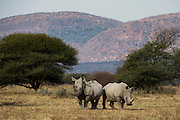 White Rhinoceros (Ceratotherium simum) & redbilled oxpecker (Buphagus erythrorhynchus)<br /> Private Game Reserve<br /> SOUTH AFRICA<br /> RANGE: Southern & East Africa<br /> ENDANGERED SPECIES