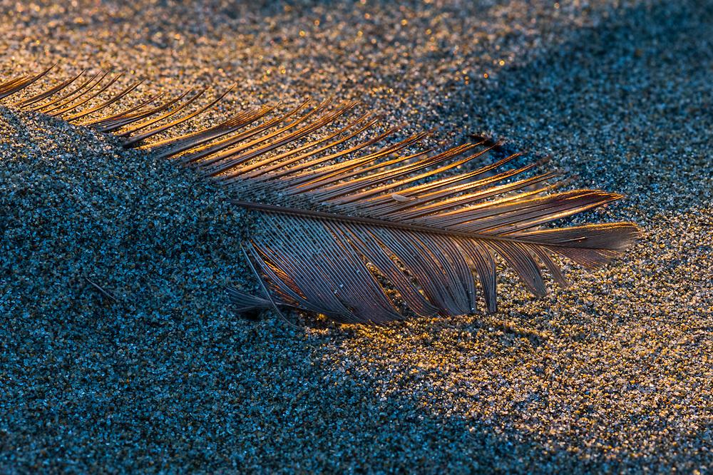 Gull feather, evening light, Pacific Coast, Washington, USA