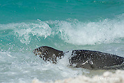 endemic Hawaiian monk seal, Monachus schauinslandi ( Critically Endangered Species ), male plunges back into surf after climbing up on beach to check for females, East Island,  French Frigate Shoals, Papahanaumokuakea Marine National Monument, Northwest Hawaiian Islands, USA ( Central Pacific Ocean )