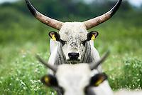 Slavonian Syrmian Cattle in the meadows between Krapje and Drenov Bok. A critically endangered native Croatian cattle: About 150-170 individual survive (2007 census).  Lonjsko Polje Nature Park. Ramsar Site. Sisack-Moslavina county. Slavonia region. Posavina area. June 2009. Croatia.<br /> Elio della Ferrera / Wild Wonders of Europe