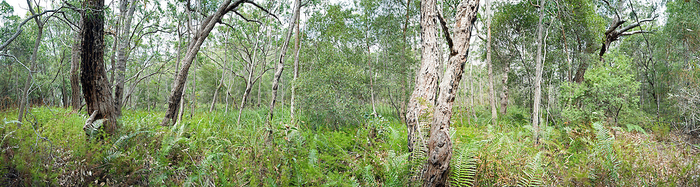 Bush on Fraser Island, Queensland, Australia, near Kingfisher Bay and Lake McKenzie. High resolution panorama.