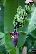 Banana tree in flower, Molokai, Hawaii