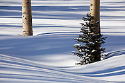Detail of aspen and pine trees amongst the shadows of aspen trees, Uncompahgre National Forest, Colorado.