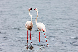 Flamingos on Walvis Bay, Namibia, Africa