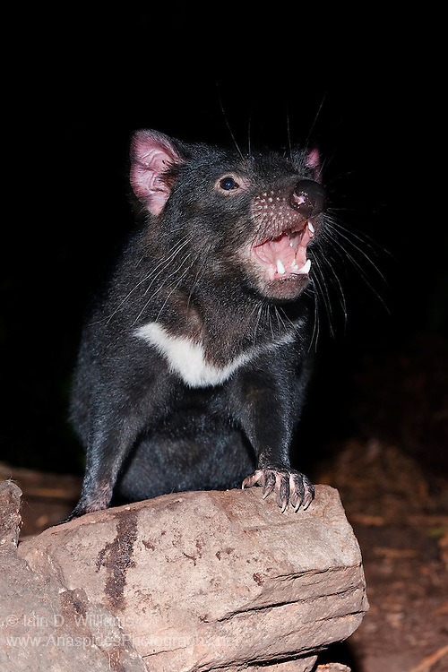 The Tasmanian Devil (Sarcophilus harrisii) is a nocturnal, carnivorous marsupial of the family Dasyuridae. The devil can only be found in the wild in the Australian island state of Tasmania. Devils are becoming increasingly uncommon and difficult to find, due to the spread of a cancer-like virus named Devil Tumour Disease. The disease, which is spread via contact with other devils, causes large growths to develop around the facial area. The cancer kills the devil