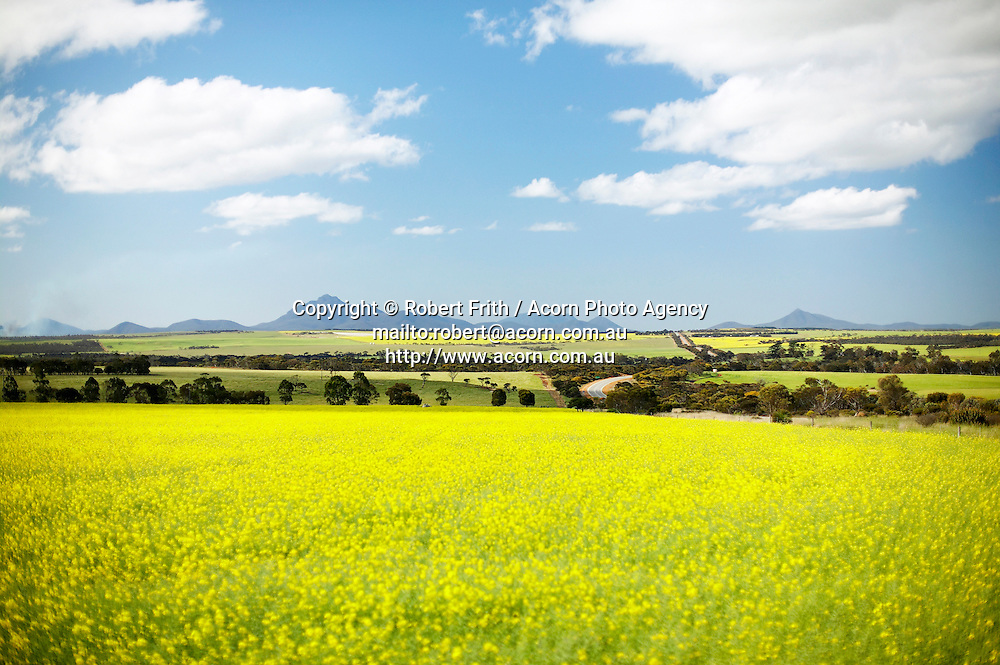 Canola crop in flower with Stirling Range backdrop near Chester Pass Road.