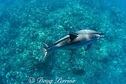 Hawaiian spinner dolphins or Gray's spinner dolphin<br /> Stenella longirostris longirostris, pair swimming together<br /> Kona, Hawaii ( Big Island ) Hawaiian Islands<br /> ( Central Pacific Ocean )