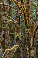 moss-covered Big Leaf Maple tree trunks along the south fork of the Skokomish River in the Olympic National Forest, WA, USA