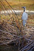 Great Blue Heron At El Dorado Regional Park Long Beach