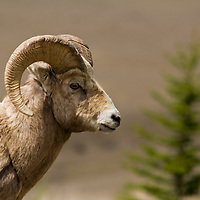 Animals - Bighorn Sheep