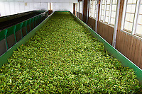 Inde, Etat du Kerala, Munnar, Sivakasi tea estate, usine de the la plus haute du monde // India, Kerala state, Munnar, Sivakasi tea estate, world highest tea factory