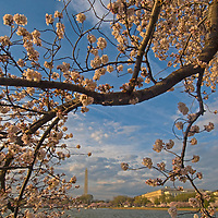 A blooming cherry tree branch frames the Washington Monument and Tidal Basin in Washington, D.C.