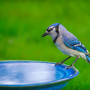 Blue jay (Cyanocitta cristata) appears lost in thought between sips at birdbath. Backyard setting, central Ohio.