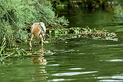 squacco heron (Ardeola ralloides). hunting with a prey frog in its bill. This small heron mainly feeds on insects, but also takes birds, fish and frogs. It is found in southern Europe, West Asia and southern Africa. Photographed in Israel in June