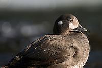 26.05.2008.Harlequin duck (Histrionicus histrionicus) female.Laxa River, Mývatn, Iceland