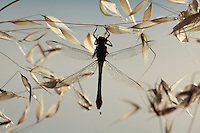 Club-tailed Dragonfly, Gomphus vulgatissimus, (Odonata, Gomphidae).<br /> Lagadin region, Lake Ohrid (693m).<br /> Galicica National Park, Macedonia, June 2009<br /> Mission: Macedonia, Lake Macro Prespa /  Lake Ohrid, Transnational Park<br /> David Maitland / Wild Wonders of Europe