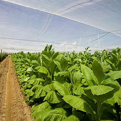 Shade grown tobacco in Hadley, Massachusetts.