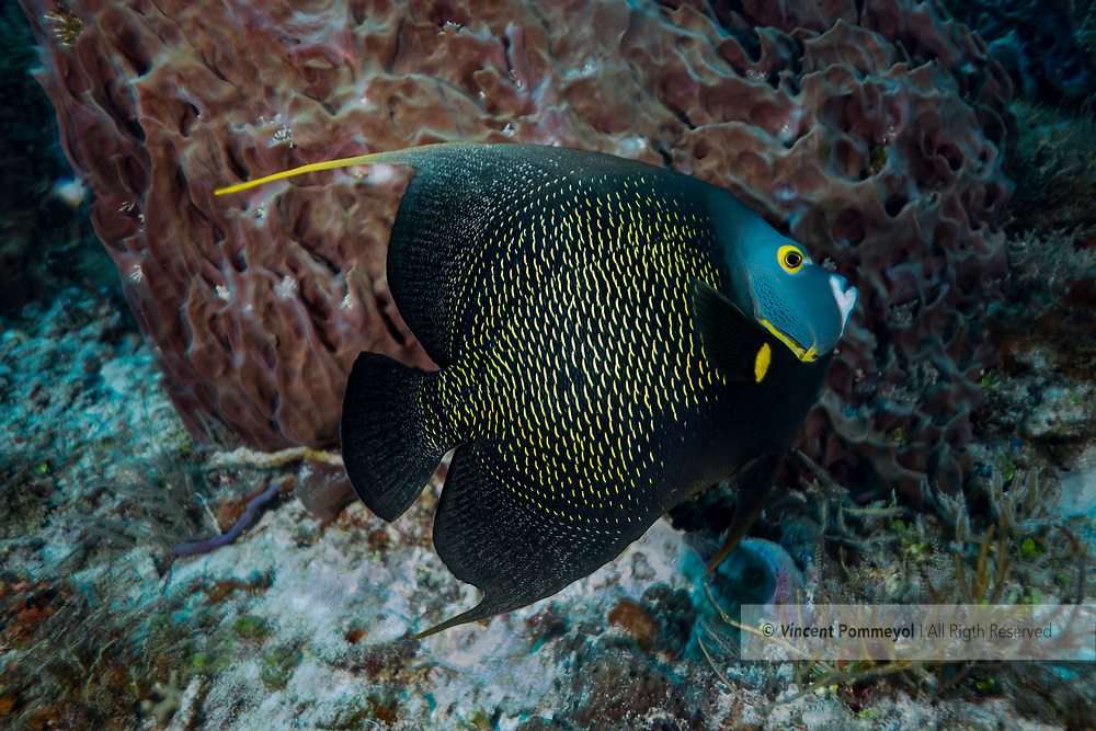French angelfish-Poisson ange français (Pomacanthus paru), Playa del carmen, Yucatan peninsula, Mexico.