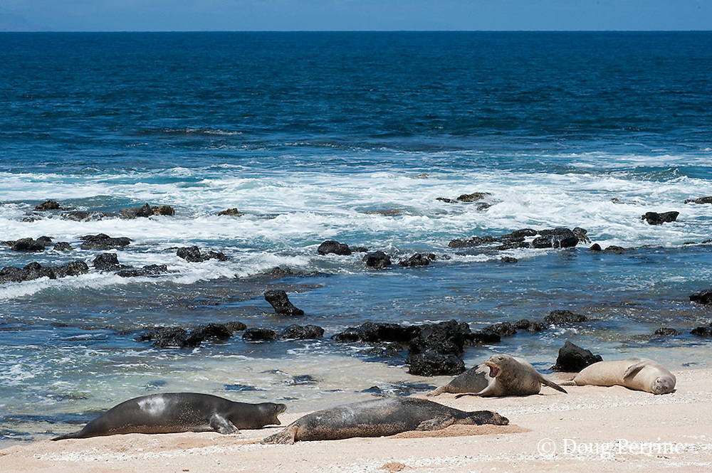 Hawaiian monk seals, Monachus schauinslandi, Critically Endangered endemic species;  a 20+-year-old male (R306) guarding a 4-year-old female (RB16) at far right, barks at a 5 year old male (RO36), far left, while a female (R318), center, rests; Beach 4, west end of Molokai, Hawaii ( Central Pacific Ocean )