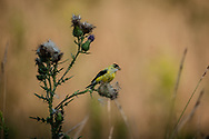 American Goldfinch eating seeds from the wildflowers growing at Tanglewood Nature Center in Upstate, NY.