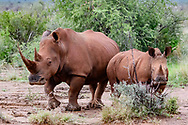 White rhinoceros with very long and sharp horn, with calf, [Secret Location] Ears are marked for identification, color is that of the soil that they dust bathe in regularly. © David A. Ponton