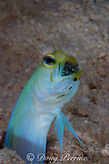 yellowhead jawfish, Opistognathus aurifrons, male mouthbrooding eggs, Lighthouse Reef Atoll, Belize, Central America ( Caribbean Sea )