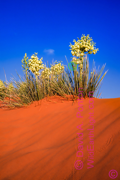 Blooming soaptree yucca on sandune in the Los Medanos area of southeastern New Mexico. The plants are partially burried by the shifting sands. Insect trails show in the foreground. © David A. Ponton