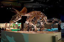 Stock photo of a Triceratops (Lane) skeleton at the new Paleontology Hall at the Houston Museum of Natural Science