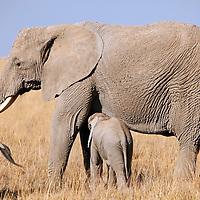 Africa, Kenya, Amboseli. A baby elephant nurses from it's mother at Amboseli.
