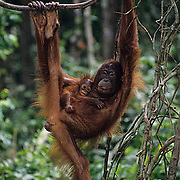 Orangutan, (Pongo pygmaeus) Mother and baby hanging from vine in rain forest. Borneo. Malaysia. Controlled Conditons.