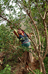 "RUKUM DISTRICT, NEPAL, APRIL 19, 2004:  Dilmaya, 23 years-old picks berries in Gipu village in Rukum District April 19, 2004. Her husband, a former Communist Party member has been missing since he was kidnapped 13 days earlier  because he quit the Party.  Analysts and diplomats estimate there about 15,000-20,000 hard-core Maoist fighters, including many women, backed by 50,000 ""militia"".  In their remote strongholds, they collect taxes and have set up civil administrations, and people's courts. They also raise money by taxing villagers and foreign trekkers.  They are tough in Nepal's rugged terrain, full of thick forests and deep ravines and the 150,000 government soldiers are not enough to combat this growing movement that models itself after the Shining Path of Peru. (Ami Vitale/Getty Images)"