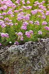 Aethionema 'Warley Rose' growing on a rock garden
