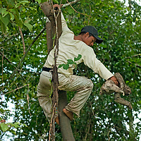 An Indian guide carries a Three-Toed Sloth out of a tree to show to tourists.