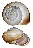Kentish Snail - Monacha cantiana