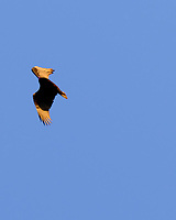 Turkey Vulture in Flight. Image taken with a Fuji X-T3 camera and 200 mm f/2 telephoto lens + 1.4x teleconverter (ISO 320, 280 mm, f/5, 1/500 sec).