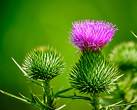 Purple Thistle Flower. Image taken with a Fuji X-T2 camera and 100-400 mm OIS lens