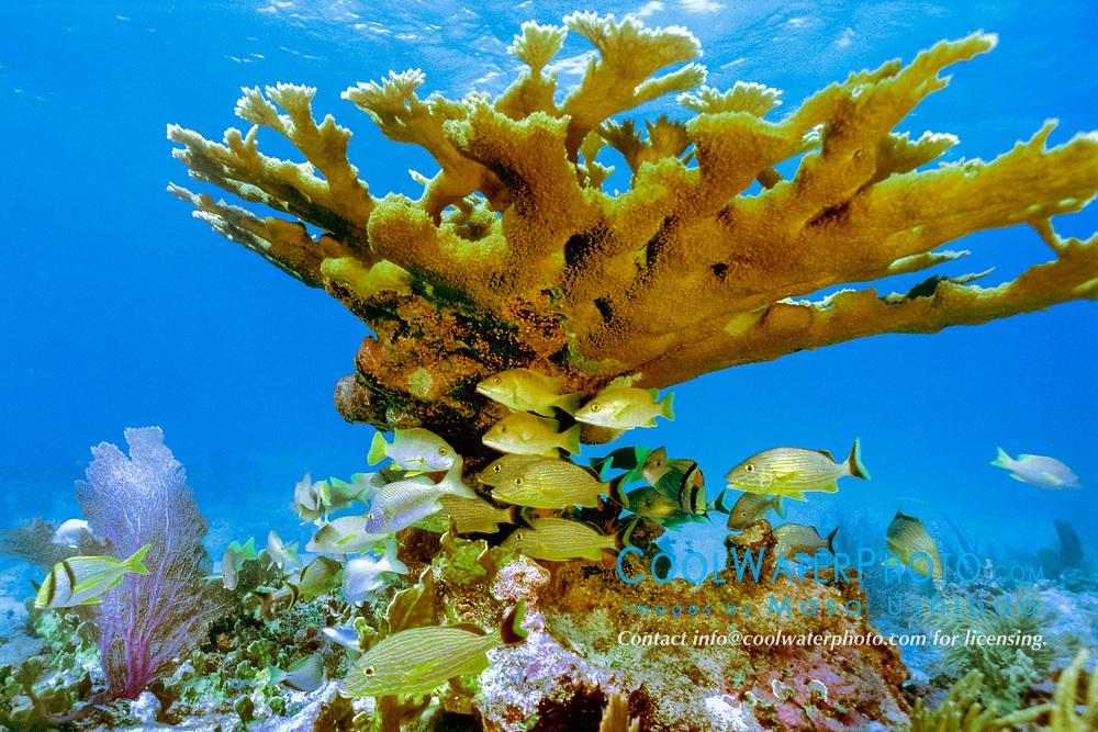 reef fish, sheltering under elkhorn coral, Acropora paimata, Pickles Reef, Islamorada, Florida Keys National Marine Sanctuary, Florida, USA, Atlantic Ocean