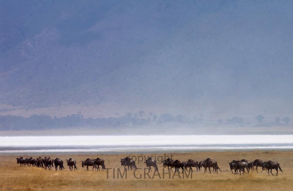 Herd of Blue Wildebeest, Ngorongoro Crater, Tanzania, East Africa