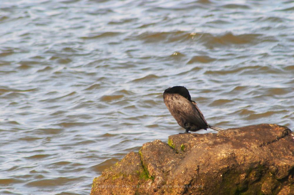 A black seagull XXX perched sitting on a rock against the water., on the riverside seaside walk along the river Rio de la Plata Ramblas Sur, Gran Bretagna and Republica Argentina Montevideo, Uruguay, South America