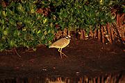 Yellow-crowned night heron wades in the mangroves at Ding Darling National Wildlife Refuge on Sanibel Island, Florida