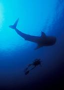 A diver is dwarfed even by this juvenile whaleshark (Rhincodon typus), Maamigili kandu, South Ari Atoll