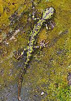Marbled Newt, Triturus marmoratus<br /> Faia Brava and  Côa valley Archaeological park,<br /> Portugal